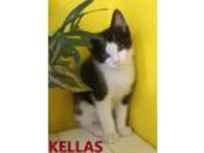 Adopt Kellas a Domestic Short Hair