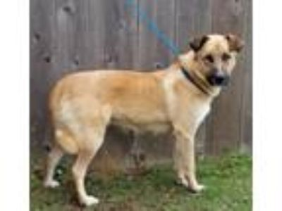 Adopt Gracie a German Shepherd Dog