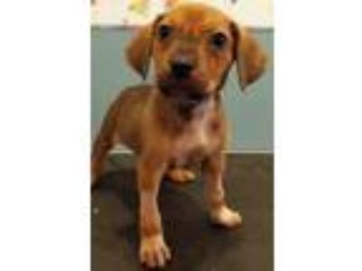 Adopt Betty Jo a Tan/Yellow/Fawn - with White Hound (Unknown Type) / Terrier