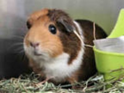 Adopt TINY a Brown or Chocolate Guinea Pig / Mixed small animal in Pasadena