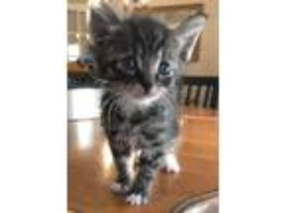 Adopt Marco a Gray, Blue or Silver Tabby Domestic Shorthair (short coat) cat in