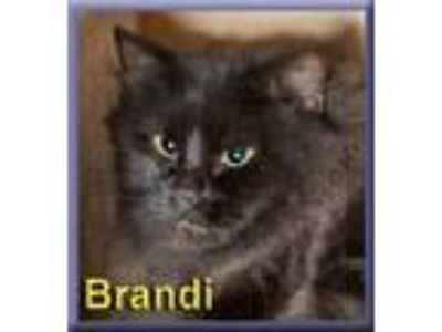 Adopt Brandi a All Black Domestic Longhair (long coat) cat in Aldie
