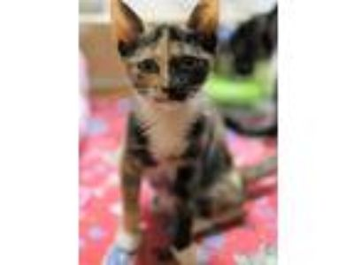 Adopt MARILYN MUNSTER a Calico or Dilute Calico Domestic Shorthair / Mixed