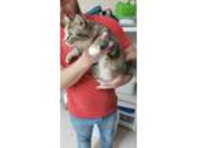 Adopt Nadine - VERY PREGNANT a Domestic Long Hair, Calico