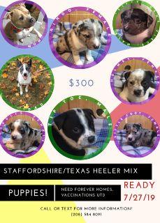 **Texas Heeler/Staffordshire Puppies**