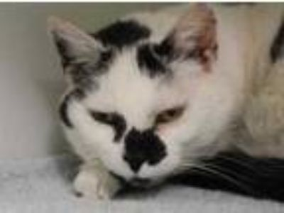 Adopt Fancy Pants a White Domestic Shorthair / Domestic Shorthair / Mixed cat in