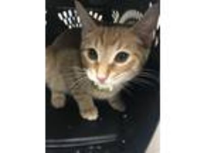 Adopt Teller a Domestic Shorthair / Mixed cat in Birmingham, AL (25850824)
