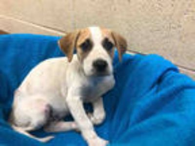 Adopt a White - with Tan, Yellow or Fawn Foxhound / Mixed dog in Texas City