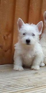 Stunning Pra Clear Westipoo Pups