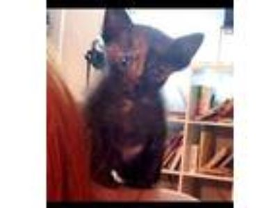 Adopt Faline a All Black Domestic Shorthair / Domestic Shorthair / Mixed cat in