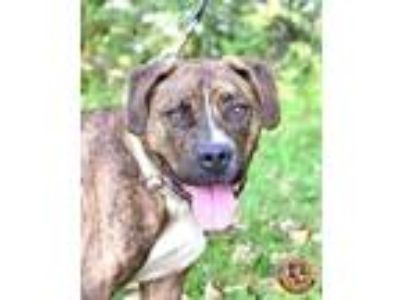 Adopt Apollo a Brindle - with White American Pit Bull Terrier / Boxer / Mixed