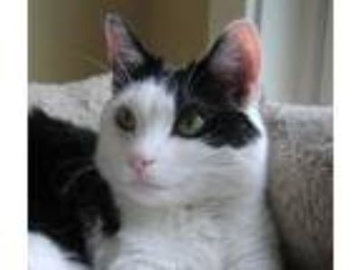 Adopt Cookie **Amazing with other cats!** a Tuxedo, Domestic Short Hair