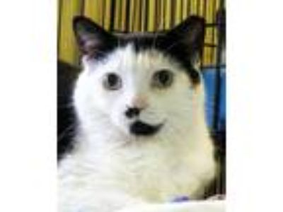 Adopt 8-104 Nemo a Domestic Short Hair