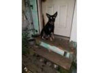 Adopt Minnie a Black - with Tan, Yellow or Fawn German Shepherd Dog / Labrador