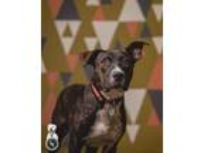Adopt Ralph a Brindle - with White Pit Bull Terrier / Plott Hound / Mixed dog in