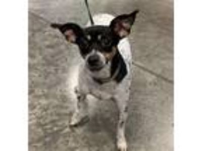 Adopt Carmen a Rat Terrier / Mixed dog in Burlington, KY (25308126)