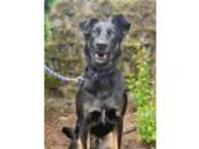 Adopt Harvey a Shepherd
