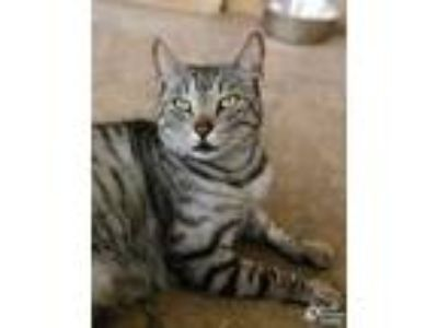 Adopt Huck a Gray or Blue Domestic Shorthair / Domestic Shorthair / Mixed cat in