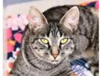 Adopt Dehlila a All Black Domestic Shorthair / Domestic Shorthair / Mixed cat in