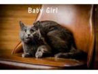 Adopt Baby Girl a Gray or Blue Domestic Shorthair / Domestic Shorthair / Mixed