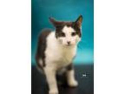 Adopt Mittens Brownplus 0618 a All Black Domestic Shorthair / Domestic Shorthair