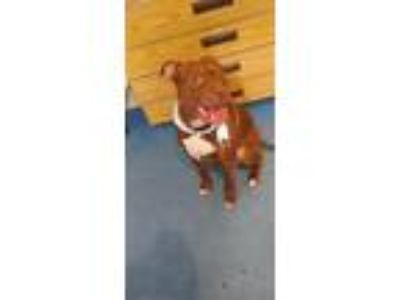 Adopt Buddy a Red/Golden/Orange/Chestnut American Pit Bull Terrier / Mixed dog