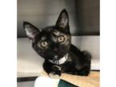 Adopt Minnie a Domestic Shorthair / Mixed cat in Mipiltas, CA (25869392)