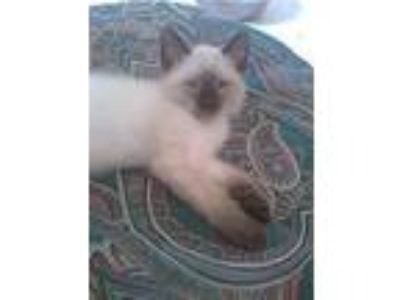 Adopt Smudge a Siamese, Domestic Short Hair