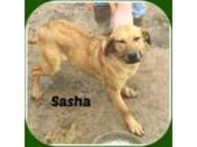Adopt SASHA a Red/Golden/Orange/Chestnut Cattle Dog / Treeing Walker Coonhound /