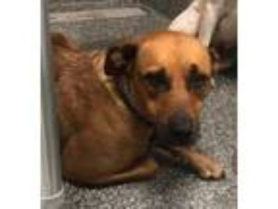 Adopt Augusta a Brown/Chocolate Mixed Breed (Medium) / Mixed dog in Florence