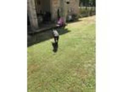 Adopt Maggie a Black Labrador Retriever / Blue Lacy/Texas Lacy / Mixed dog in
