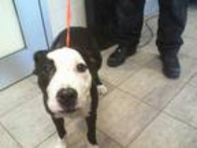 Adopt YUMMY a Black - with White American Pit Bull Terrier / Mixed dog in Grand