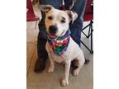 Adopt Napa a Pit Bull Terrier