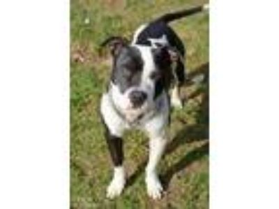 Adopt Jack a Black American Pit Bull Terrier / Mixed dog in Owosso
