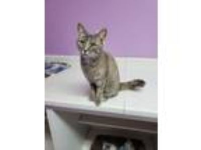 Adopt Gibby a Domestic Short Hair
