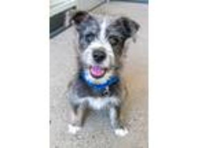 Adopt NEPTUNE a Terrier (Unknown Type, Small) / Mixed dog in Redwood City