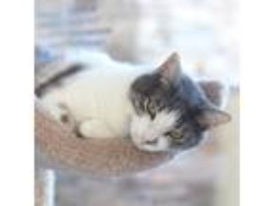Adopt Caleb - Cat Cafe a Gray or Blue (Mostly) Domestic Shorthair / Mixed (short