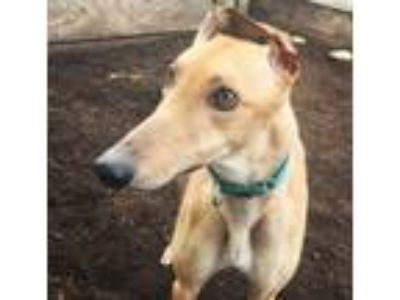 Adopt Buzz a Greyhound