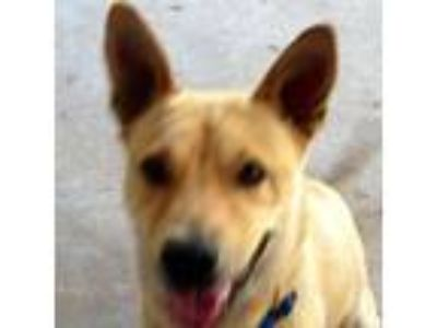Adopt Charlie a German Shepherd Dog, Cattle Dog