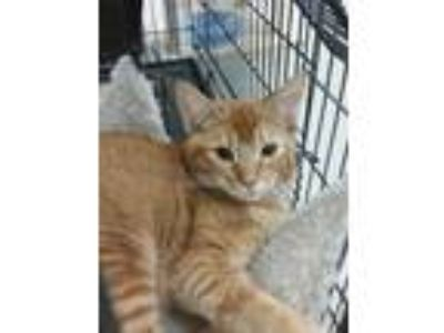 Adopt Eli a Domestic Short Hair