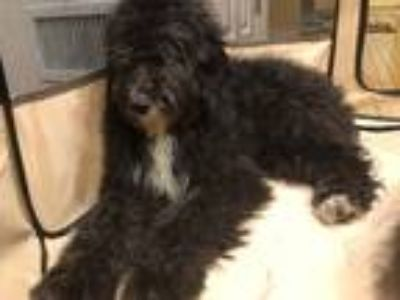 Adopt Callie a Black Australian Shepherd / Poodle (Standard) dog in Manhattan