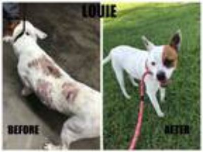 Adopt LOUIE a Boxer, Cattle Dog