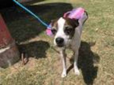 Adopt Tina a White Boston Terrier / Rat Terrier / Mixed dog in Cedar Hill