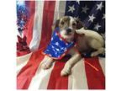 Adopt Blackberry a White - with Brown or Chocolate Wirehaired Fox Terrier dog in