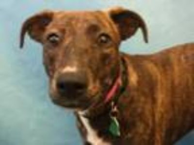 Adopt Belle a Hound, Mixed Breed