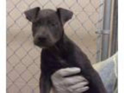 Adopt Miley a Pit Bull Terrier, Mixed Breed