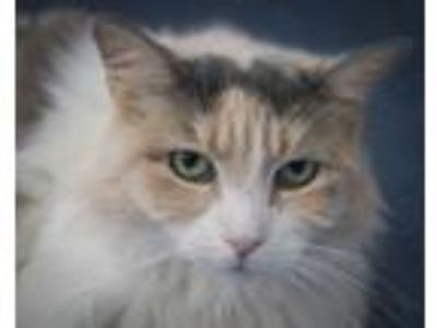 Adopt Kammi a Dilute Calico, Domestic Long Hair