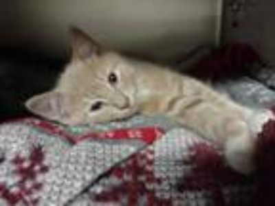 Adopt New York a Tan or Fawn Domestic Shorthair / Domestic Shorthair / Mixed cat