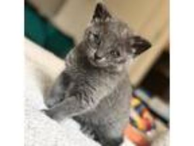 Adopt Boop a Gray or Blue Domestic Shorthair / Domestic Shorthair / Mixed cat in