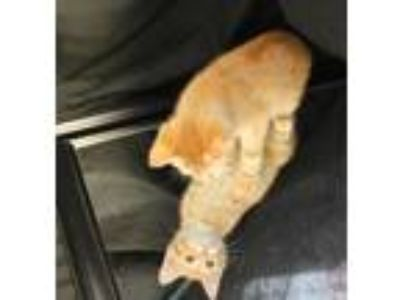 Adopt Ted a Orange or Red Domestic Shorthair / Domestic Shorthair / Mixed cat in